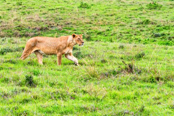 Lioness walks in savanna - Stock Photo - Images