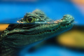 Young spectacled caiman or Caiman crocodilus - PhotoDune Item for Sale