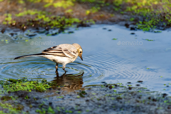 Juvenile white wagtail or Motacilla alba in river - Stock Photo - Images