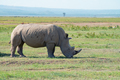 White rhinoceros ( Ceratotherium simum - PhotoDune Item for Sale