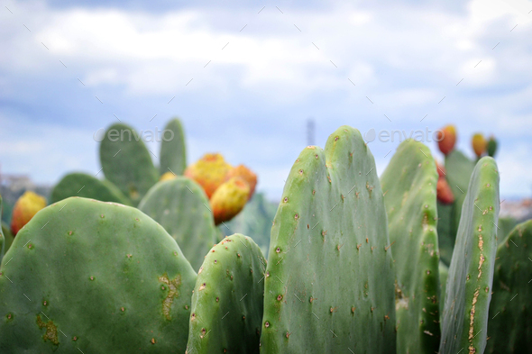 Opuntia ficus or prickly pear cactus with fruit - Stock Photo - Images