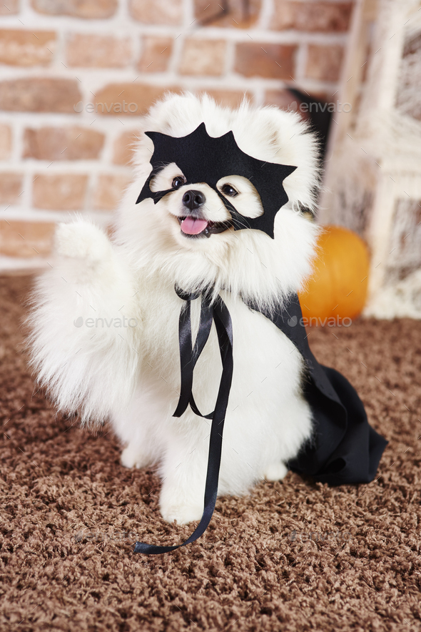Portrait of playful dog in halloween costume - Stock Photo - Images