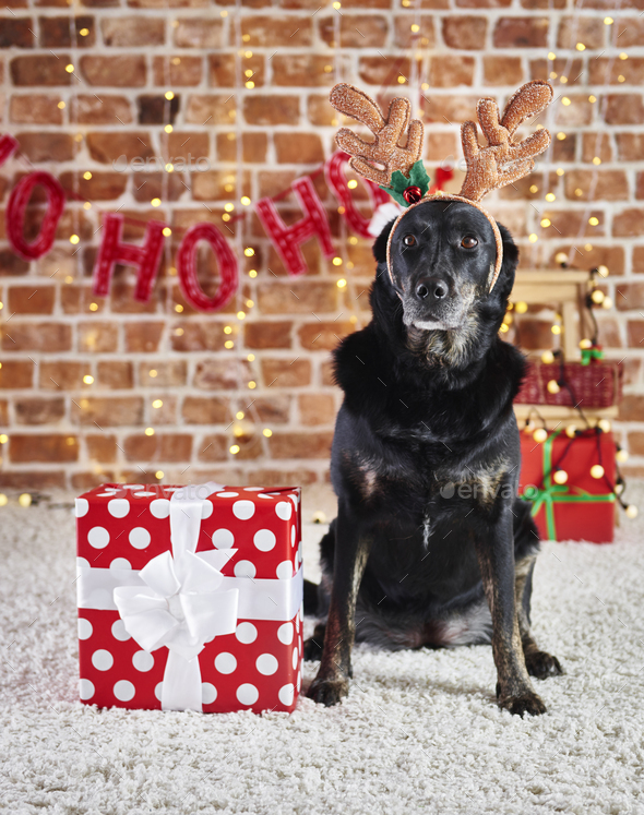 Portrait of sad dog with reindeer's antlers and christmas present - Stock Photo - Images