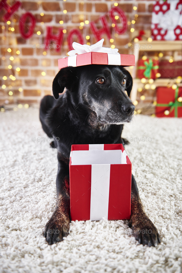 Playful dog opening a christmas present - Stock Photo - Images