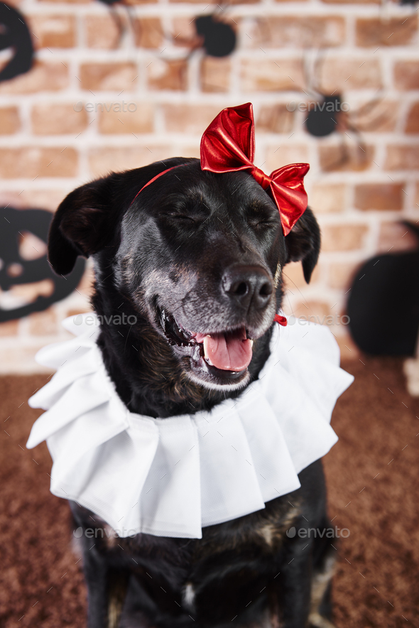 Black dog in halloween costume - Stock Photo - Images
