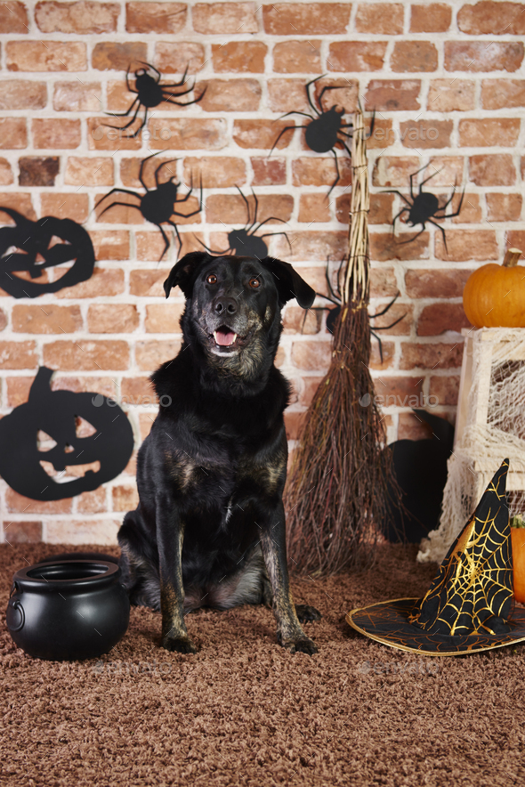 Black dog in witch costume - Stock Photo - Images