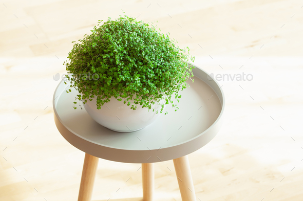 houseplant Soleirolia soleirolii in white flowerpot - Stock Photo - Images