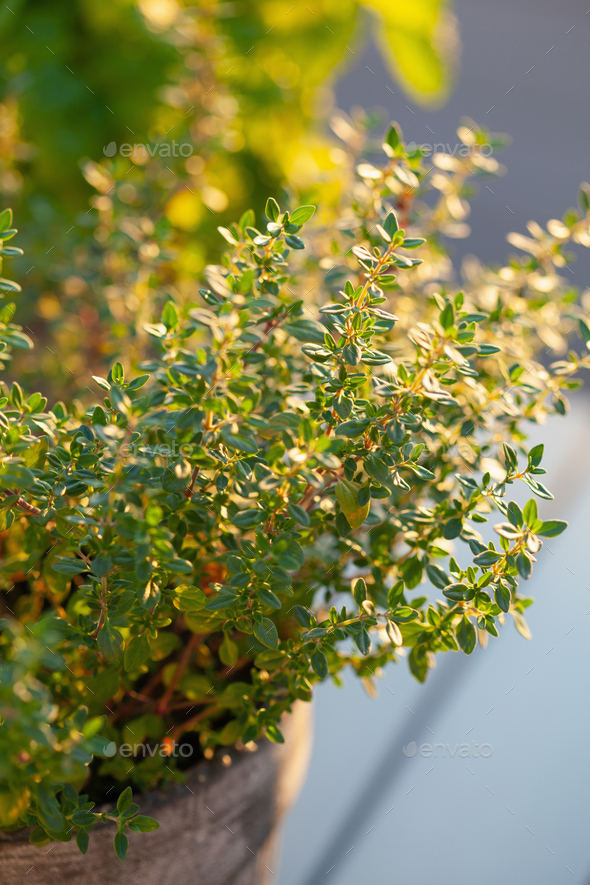 thyme herb in flowerpot on balcony - Stock Photo - Images