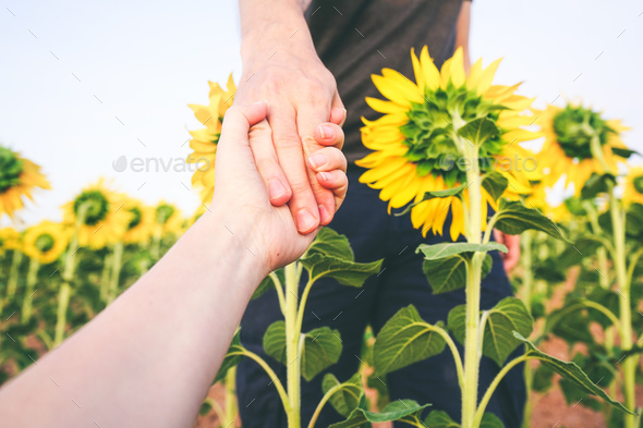 couple holding hands in a field of sunflowers - Stock Photo - Images