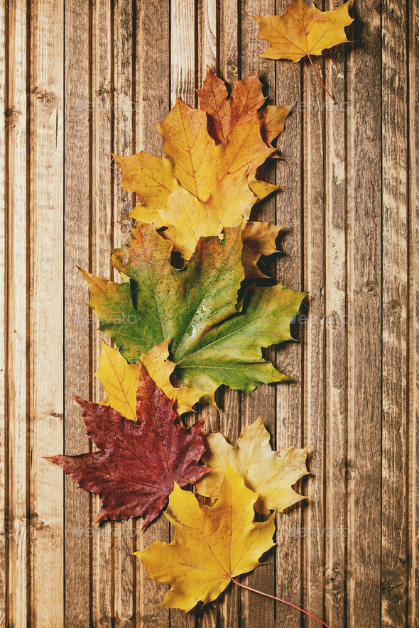Autumn maple leaves - Stock Photo - Images