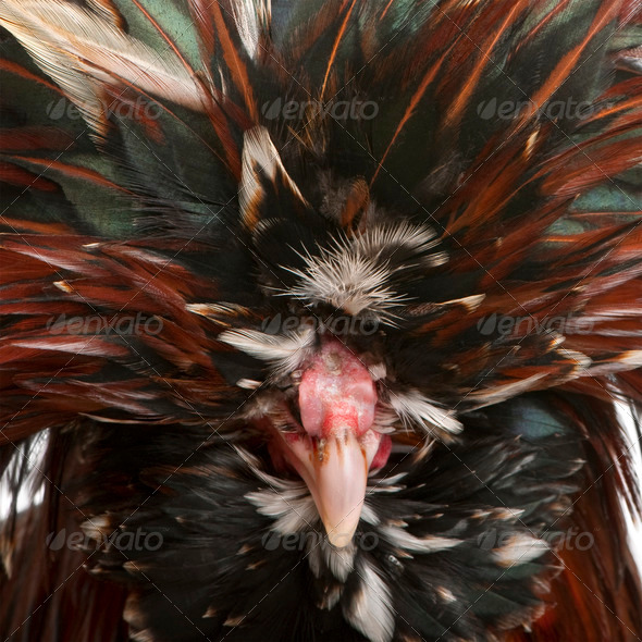 Close-up of Tollbunt tricolor Polish Rooster, 6 months old - Stock Photo - Images