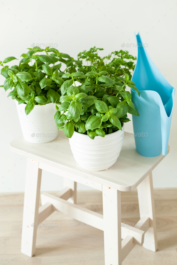 fresh basil and parsley herb in flowerpots - Stock Photo - Images