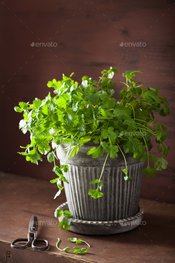 fresh cilantro herb in flowerpot - Stock Photo - Images