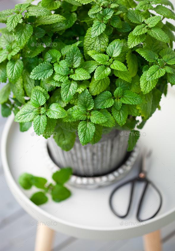 lemon balm (melissa) herb in flowerpot on balcony - Stock Photo - Images