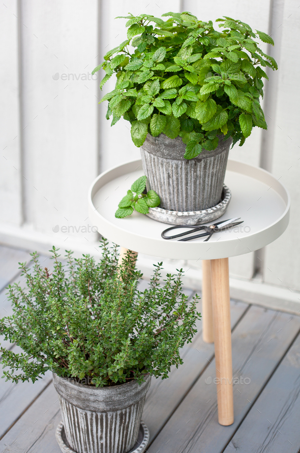 lemon balm (melissa) and thyme herb in flowerpot on balcony - Stock Photo - Images
