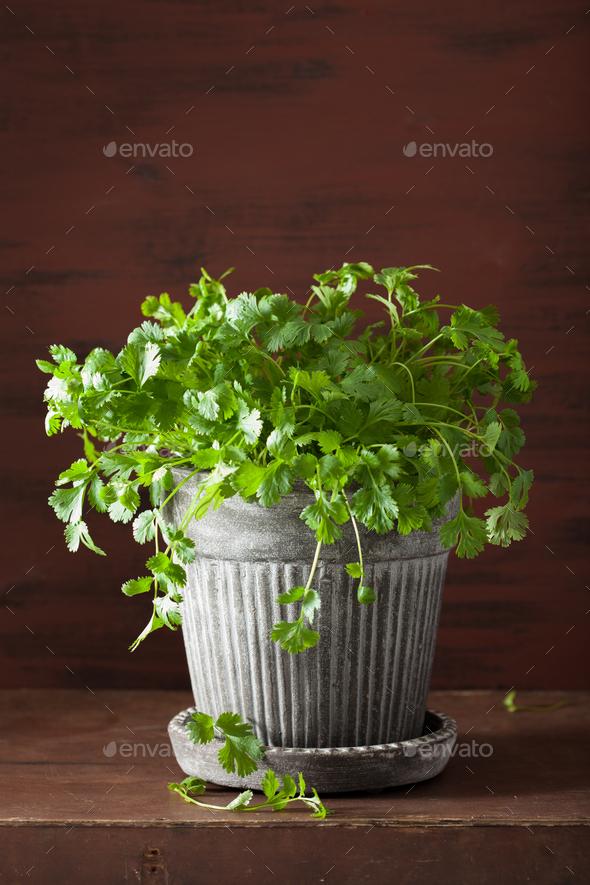 fresh cilantro herb in flowerpot - Stock Photo - Images
