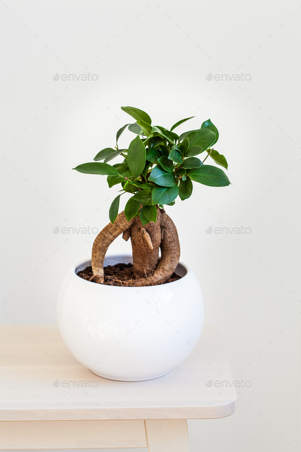 houseplant ficus microcarpa ginseng in white flowerpot - Stock Photo - Images