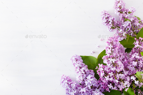 beautiful lilac flowers on white background - Stock Photo - Images