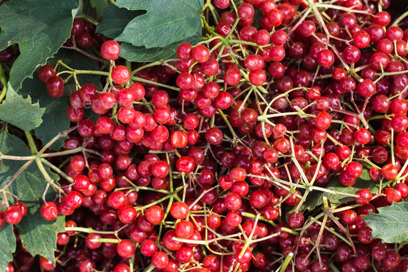 Red viburnum berries with bunches - Stock Photo - Images