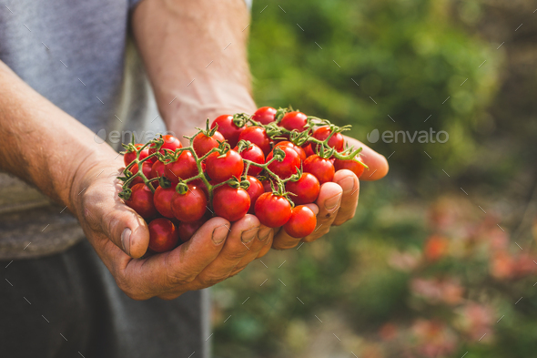 Farmers holding fresh tomatoes. Healthy organic foods - Stock Photo - Images