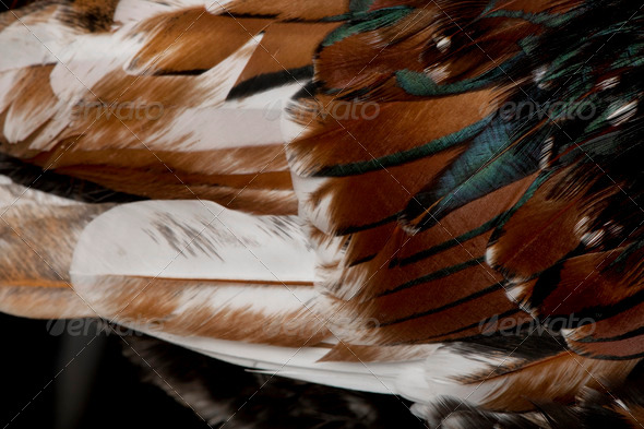 Close-up of Tollbunt tricolor Polish chicken feathers, 6 months old - Stock Photo - Images