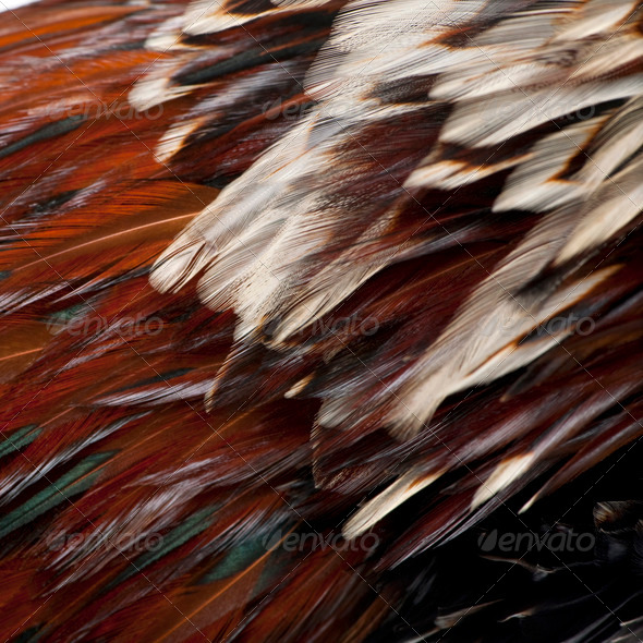 Close-up of Tollbunt tricolor Polish Rooster feathers, 6 months old - Stock Photo - Images