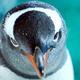 Gentoo Penguin Close Up 7 - PhotoDune Item for Sale