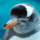 Gentoo Penguin Close Up 11 - PhotoDune Item for Sale