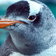 Gentoo Penguin Close Up 8 - PhotoDune Item for Sale