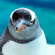 Gentoo Penguin Close Up 9 - PhotoDune Item for Sale