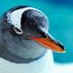 Gentoo Penguin Close Up 12 - PhotoDune Item for Sale