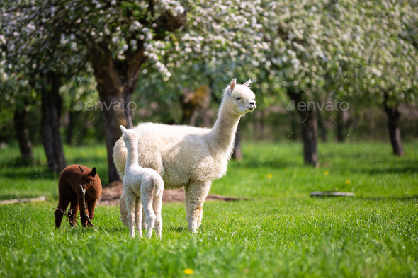 White Alpaca with Offspring - Stock Photo - Images