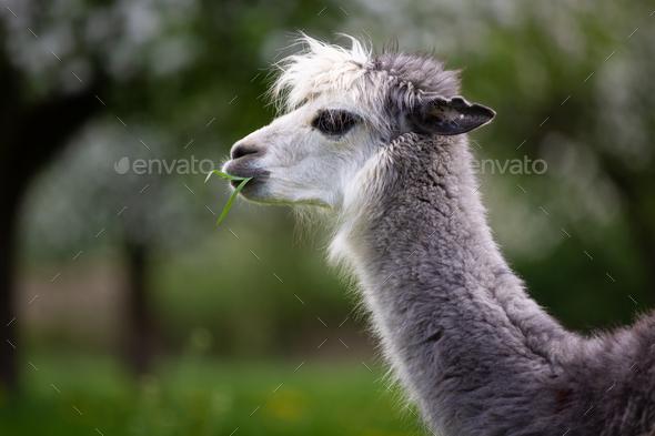 Alpaca Eating Grass - Stock Photo - Images
