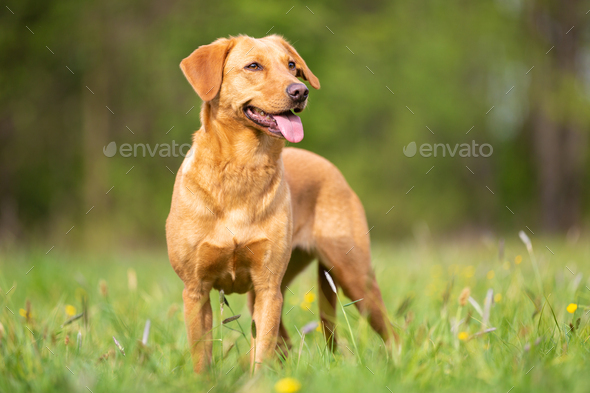 Bright Labrador Retriever from the Working Line - Stock Photo - Images