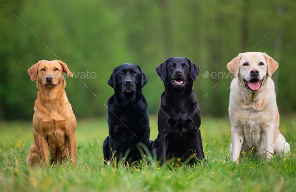Four Labrador Retriever Dogs - Stock Photo - Images