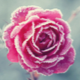 A Frosted Rose