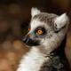Ring-tailed lemur portrait - PhotoDune Item for Sale