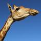 Giraffe portrait against a blue sky - PhotoDune Item for Sale