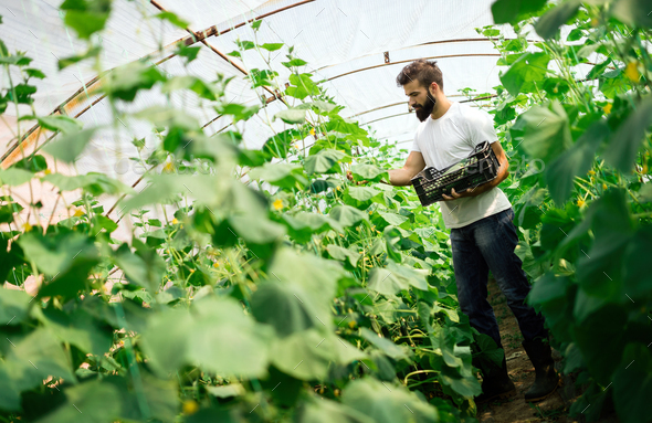 Male farmer picking fresh cucumbers from his hothouse - Stock Photo - Images