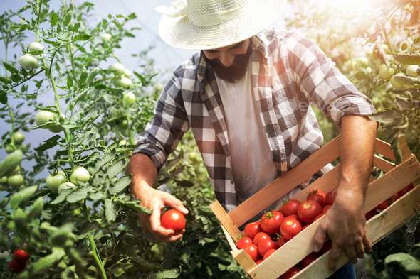 Harvest ripening of tomatoes in a greenhouse - Stock Photo - Images