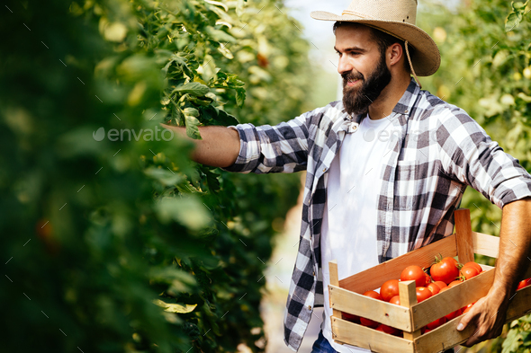 Male farmer picking fresh tomatoes from his hothouse garden - Stock Photo - Images
