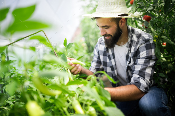 Young man harvesting tomatoes in greenhouse - Stock Photo - Images