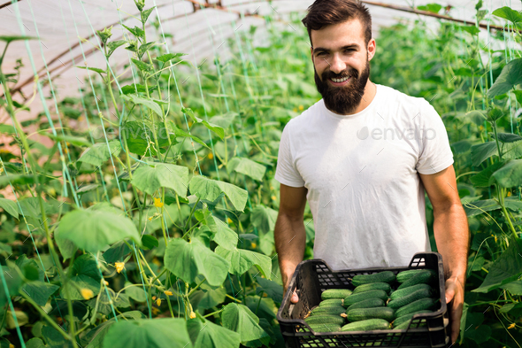 Farmer checking cucumber in a greenhouse - Stock Photo - Images