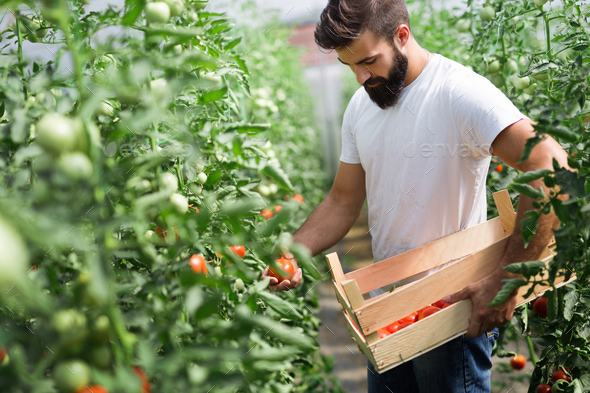 Attractive happy male farmer working in greenhouse - Stock Photo - Images