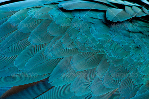 Close-up of Blue-and-yellow Macaw's feathers, Ara ararauna - Stock Photo - Images