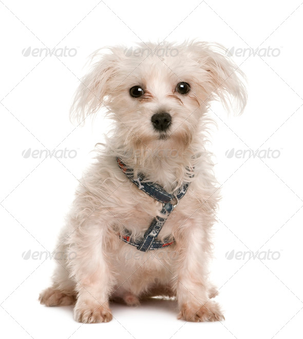 Portrait of bad 6 months old Maltese puppy, sitting in front of white background - Stock Photo - Images