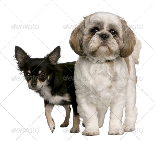 Shih Tzu and Chihuahua, standing in front of white background - Stock Photo - Images