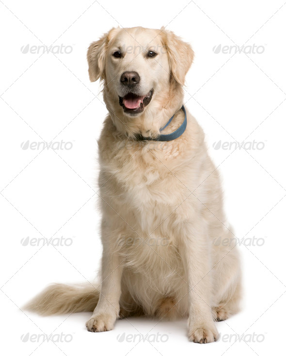Golden retriever, 20 months old, sitting in front of white background - Stock Photo - Images