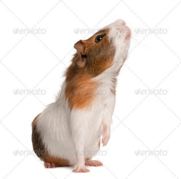 Guinea pig, Cavia porcellus, sniffing in front of white background - Stock Photo - Images