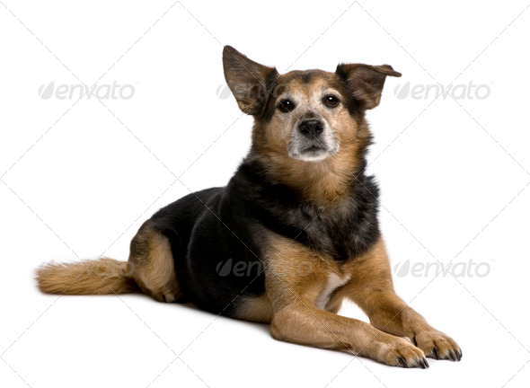 Old Bastard dog, 11 years old, sitting in front of white background - Stock Photo - Images